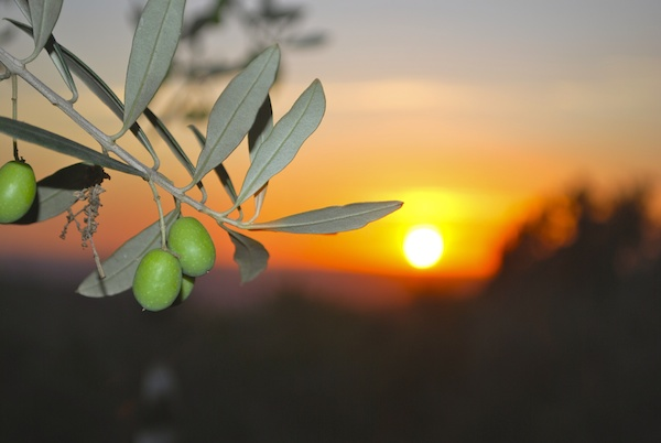 Firenze Olive Sunset 600x400