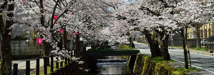 kinosaki-onsen-cherry-blossom
