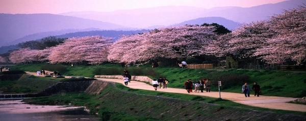 kyoto-kamo-cherry-blossom